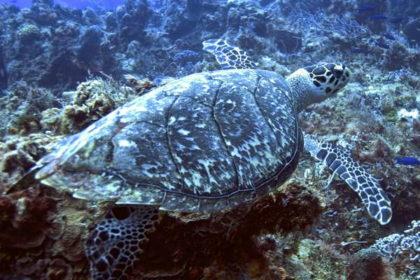 Hawksbill Sea Turtle at Caño Island