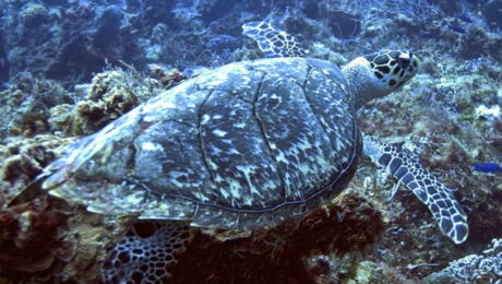 Hawksbill Sea Turtle at Caño Island