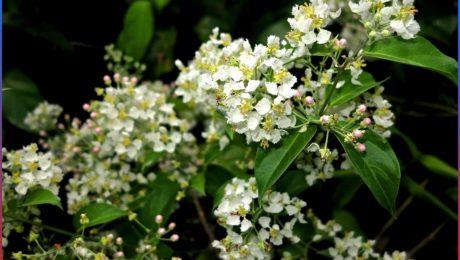 Yagé in flower